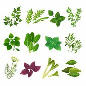 Herbs And Spices. Oregano Green Basil Mint Spinach Coriander Parsley Dill And Thyme. Aromatic Food H poster