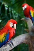 foto of jungle animal  - couple of beautiful macaws - JPG