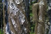 pic of sakhalin  - lichen on the trunk of larch tree - JPG