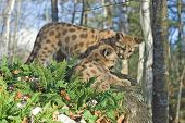 picture of mountain lion  - Twin cougar kits - JPG