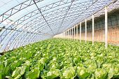 picture of turnips  - closeup of pictures about greenhouse in china - JPG