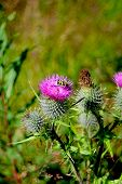 picture of scottish thistle  - Scottish Thistle on a fine sunny day