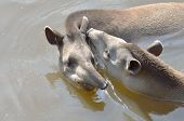 picture of tapir  - young and adult tapir swimming  in water - JPG