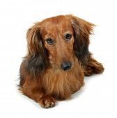 picture of long-haired dachshund  - Dog long - JPG