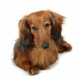 stock photo of long hair dachshund  - Dog long - JPG