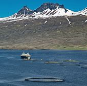 aquaculture salmon fishing farm enclosure and boat in fjord Iceland sea fish farming in round net fi