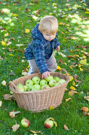 stock photo of crip  - Little toddler boy with basket full of apples in autumn garden Germany - JPG