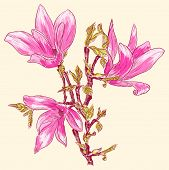 picture of japanese magnolia  - Vector illustration of Magnolia branch - JPG