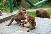 Macaque Monkeys At Swayambhunath Monkey Temple