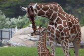 Постер, плакат: Мать Жираф целуя Baby Жираф