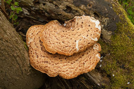 picture of bracket-fungus  - Bracket fungus or fungi growing on tree bark - JPG