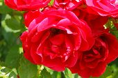 foto of climbing roses  - Flowering climbing rose  - JPG