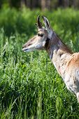 stock photo of antelope horn  - close up of a prong horn antelope over green spring grass - JPG