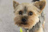 stock photo of yorkie  - Adorable yorkie puppy gazing into the camera longing for affection
