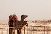 stock photo of great horse  - Camel and mule or horse waiting for tourists by the Great Pyramid of Giza in Cairo Egypt