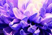 image of chrysanthemum  - Chrysanthemum flower - JPG