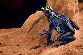 stock photo of exotic frog  - poison dart frog - JPG