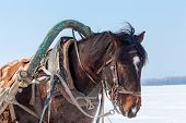 picture of harness  - Head of brown horse with bridle and harness closeup
