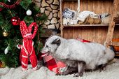 stock photo of arctic fox  - Pretty gray arctic fox in christmas or new year - JPG