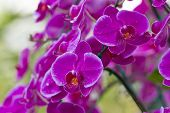 picture of orquidea  - orchid flower with buds background  - JPG