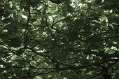 foto of canopy roof  - The photograph of the tree crown and the dense leaves of a deciduous tree roof - JPG