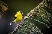 stock photo of goldfinches  - An American Goldfinch perches on a pine branch - JPG