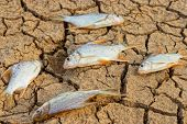 foto of water shortage  - fish died on crack ground due to drought and river dried up - JPG