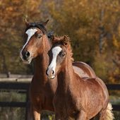 foto of mare foal  - Amazing mare with beautiful foal running together in autumn - JPG