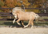 stock photo of pony  - Two amazing palomino stallions playing together in autumn welsh mountain pony and welsh pony of cob type - JPG