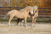 picture of stallion  - Two amazing palomino stallions playing together in autumn welsh mountain pony and welsh pony of cob type - JPG
