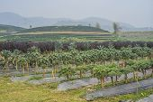 stock photo of kale  - Various vegetable farming such as kales and tea plantation is found in the North of Thailand - JPG
