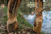 picture of beaver  - traces of beavers in the woodsat river donau - JPG