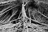 foto of spooky  - Spooky forest landscape with perspective of tree with big roots on the ground black and white image - JPG