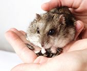 picture of hamster  - girl hands holding grey hamster close up - JPG