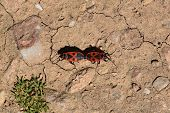 stock photo of copulation  - Two firebug red insects mating and walking backwards - JPG