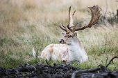 stock photo of bucks  - The male fallow deer (Dama dama known as a buck) is resting in the wild surrounded by a thick bush shielding it from fierce predators roaming in and around.