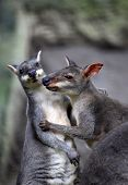 image of kangaroo  - Two australia kangaroos in zoo Bali - JPG