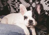 stock photo of french bulldog puppy  - Puppy french bulldog at home and looking at camera - JPG