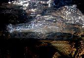 pic of alligator  - An Alligator in a Lake in Florida - JPG