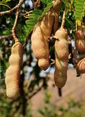picture of tamarind  - Unripe Tamarind fruits hanging from tree in Cabo Verde - JPG
