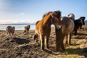 picture of iceland farm  - Icelandic ponies  - JPG