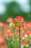 stock photo of wildflower  - Indian Paintbrush wildflowers blooming on the spring meadow  - JPG
