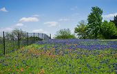 stock photo of bluebonnets  - Field of Bluebonnet and Indian Paintbrush flowers in bloom along a fence in Texas spring - JPG