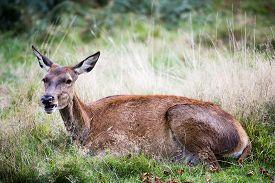 picture of deer  - Hind or the female red deer in the wild - JPG