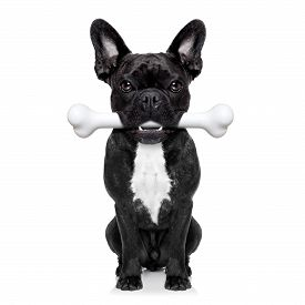 foto of bulldog  - french bulldog dog holding a big bone with mouth waiting for owner to go for a walk isolated on white background - JPG