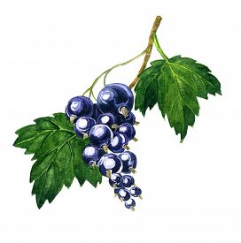 foto of bine  - branche of black currants with berries and green leaves drawing by watercolor - JPG