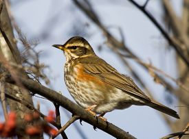 picture of mountain-ash  - Redwing on the branch of mountain ash - JPG