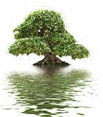 pic of centenarian  - beautiful Ficus bonsai over white with water reflection - JPG