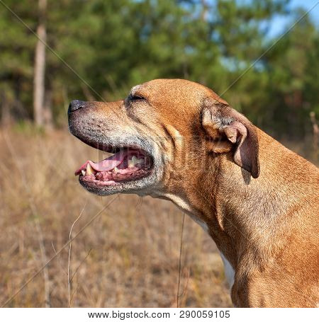 Red American Pit Bulls Dog