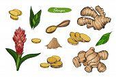 Ginger Hand Drawn Vector Illustration.detailed Colorful Style Sketch.kitchen Herbal Spice And Food I poster
